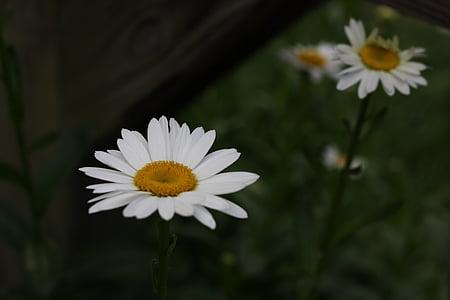 daisies, flower, white flower, floral, nature, summer flowers, garden