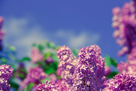 blomst, aroma, lugt, natur, forår, sundhed, frisk