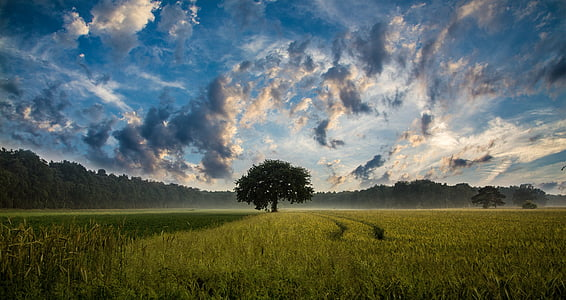 tree, field, cornfield, nature, landscape, sky, clouds