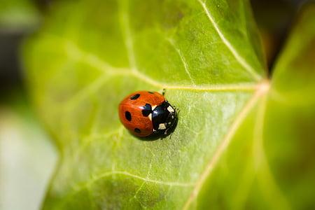 bọ cánh cứng, côn trùng, Ladybird, bọ rùa, lá, Thiên nhiên, nhỏ