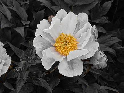 tõusis, lill, taim, Bloom, roosa õitega, tempel, kollane