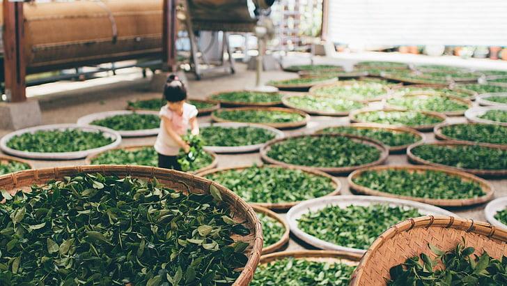 Azja, dziecko, żniwa, herbata, pracy, Zdjęcia domeny publicznej