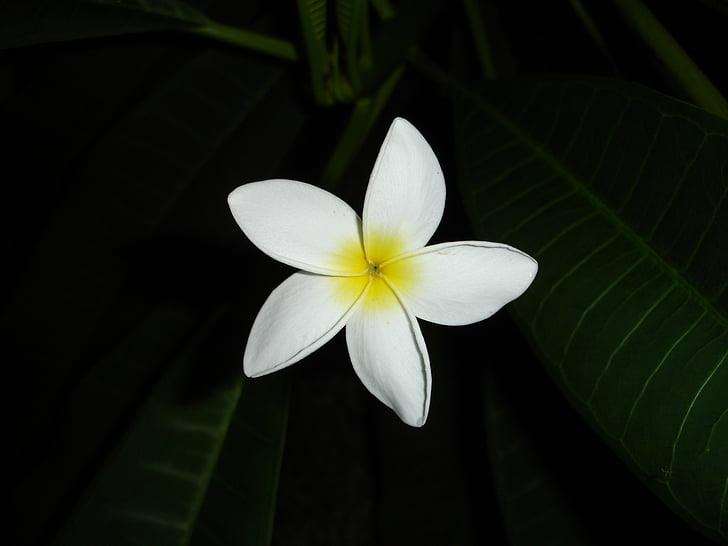 fleur, blanc, jaune, macro, Blossom, Bloom, plante
