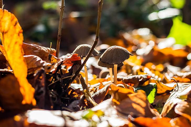 gobe, gozd, gobova, nabiranje, jeseni, narave, Strupeno, darilo
