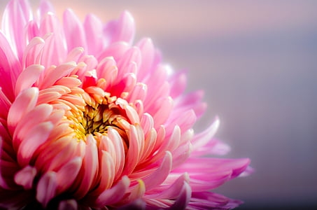 chrysanthemum, autumn, pink, flower, pink color, petal, flower head