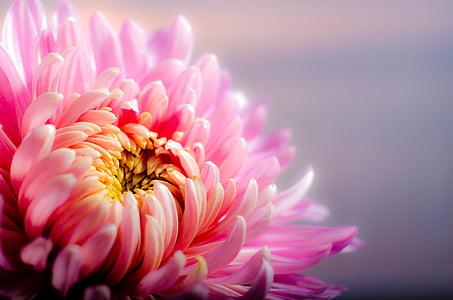 crisantem, tardor, Rosa, flor, color rosa, pètal, flor