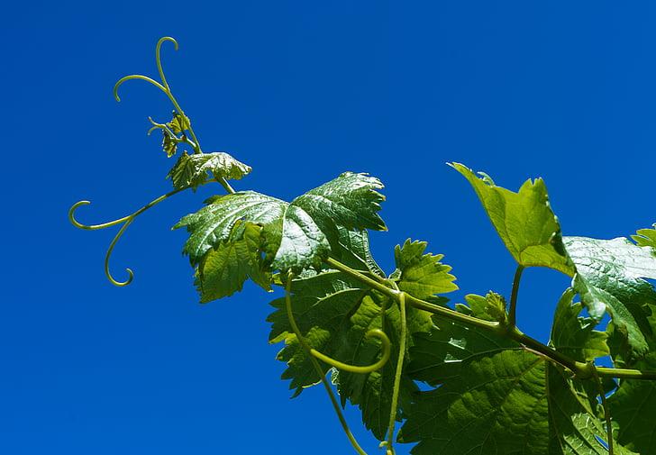 viinamari, viinapuu, Parra, Vineyard, saagi, kasvatamine, klastri