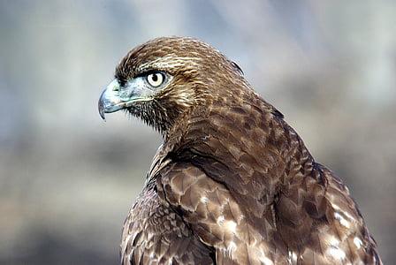 punainen pyrstö hawk, lintu, Raptor, Wildlife, kyydissä, haku, Hunter