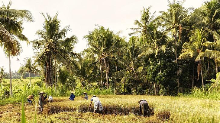 indonesia, bali, fieldwork, rice harvest, farmers, harvest, agriculture