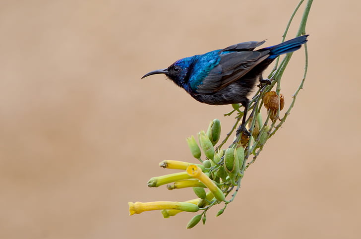 Слънцето птица, птица, животните, синьо, Черно, дива природа, природата