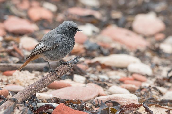 черен redstart, Songbird, птица, мигриращи птици, phoenicurus ochruros, малки, possierlich