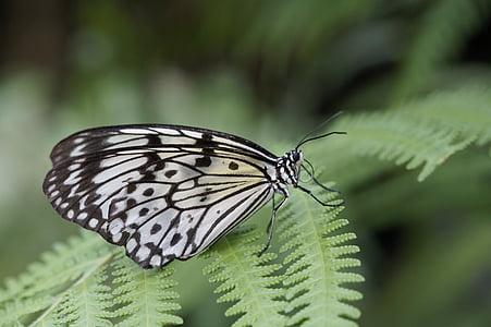 valkoinen baumnymphe, Perhoset, perhonen, eksoottinen, hotellissa, Tropical, musta ja valkoinen