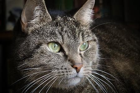 котка, животните, домашен любимец, котешки очи, Портрет, домашна котка, Адидас