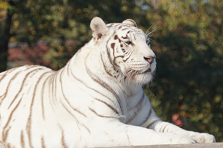 white, tiger, cat, white tiger, safari