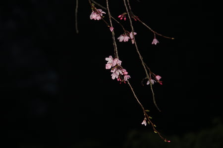 nit sakura, Rosa, flor del cirerer