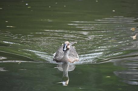 green water, little duck, waterfowl, reflection, positive, speed