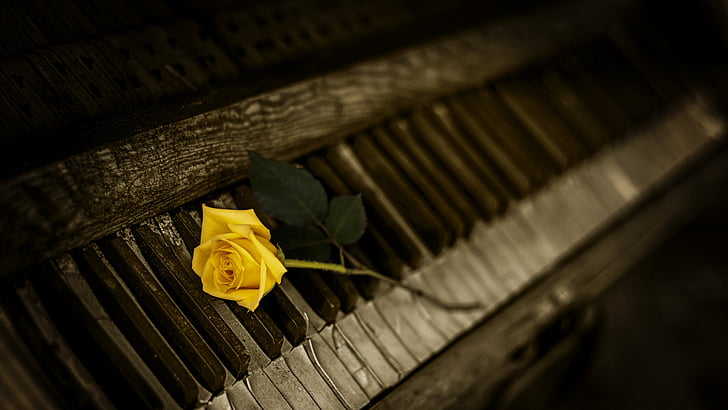piano, rose, yellow, indoors, no people, close-up, day