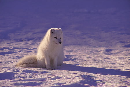 white, polar, wolf, ice, field, animal, snow