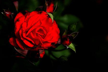rosa roja, color de rosa, flores, rojo, flor, floración, flores rosa