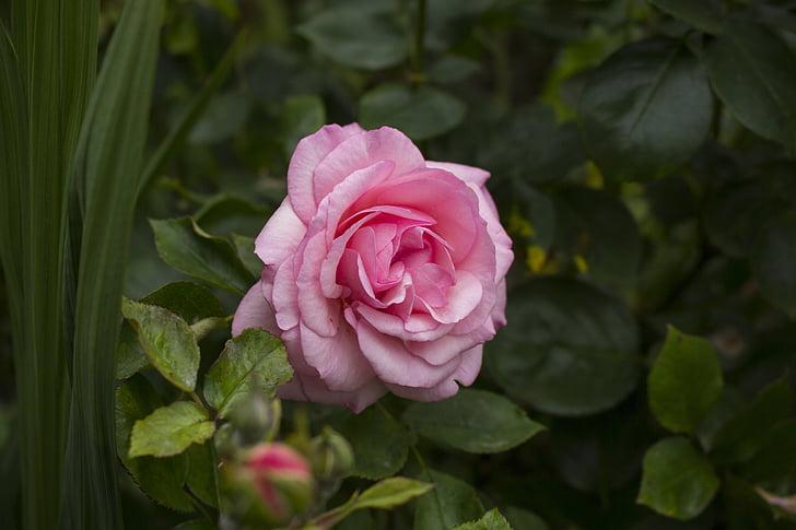 Rosa, flor, flor, flor, flors roses, rosa Rosa, natura