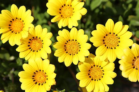 gazania, lilled, lilled, taim, kollane, loodus, suvel