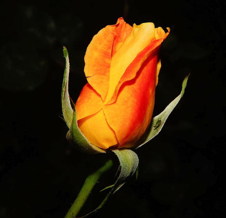 Rosa, flor, flor, vermell, taronja, planta, bonica