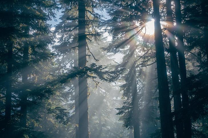 bosc, natura, silueta, llum del sol, arbres, boscos, arbre
