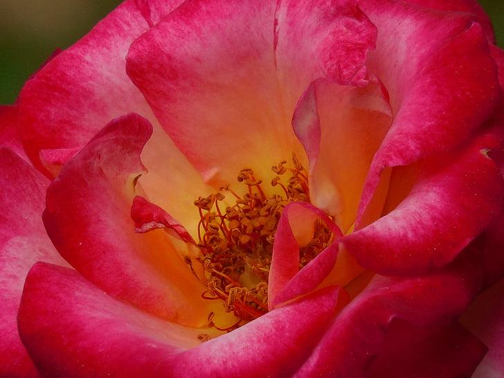 Rosa, flor, floral, flor, natura, romàntic, disseny