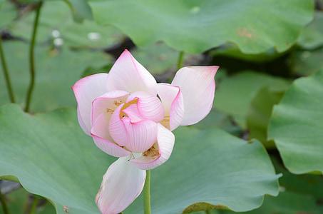 Lotus, ziedēšanas, mākslinieciskā koncepcija, Ķīna vējš