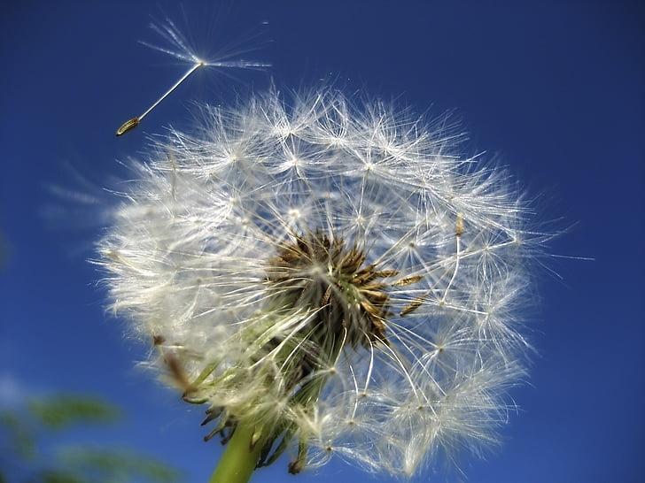 dent de Lleó, flor, l'estiu, jardí, Prat, carretera, cel
