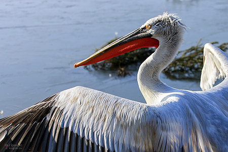 dalmatian pelican, pelican, waterfowl, bird, zoo
