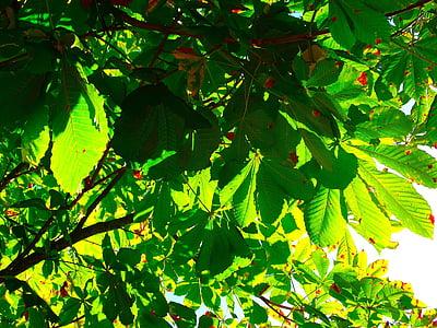 kastanilehtedesse, lehed, Leaf green, Kastanipuu, lehestik, lehed, loodus