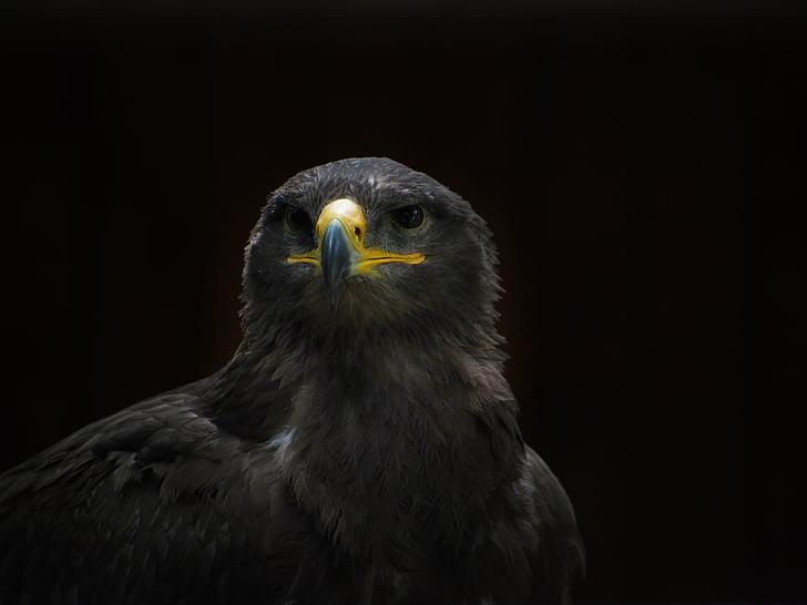 adler, steppe eagle, bird, raptor, falkner, nature, zoo