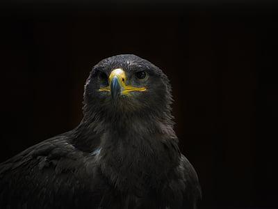 Adler, Arokotka, steppe eagle, lintu, Raptor, Falkner, Luonto, Zoo