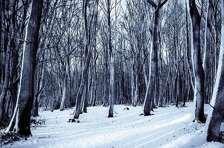 fred, bosc, natura, neu, arbres, l'hivern, arbre