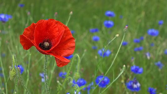 poppy, blossom, bloom, nature, field, flower, summer