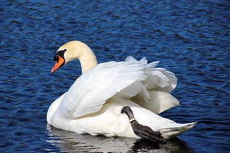 лебед, ням лебед, Cygnus olor, вода птица, бяло, елегантна, плуване