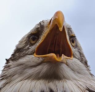 kalju kotka, Adler, lintu, petolintu, valkoinen pyrstö eagle, Raptor, Sulje