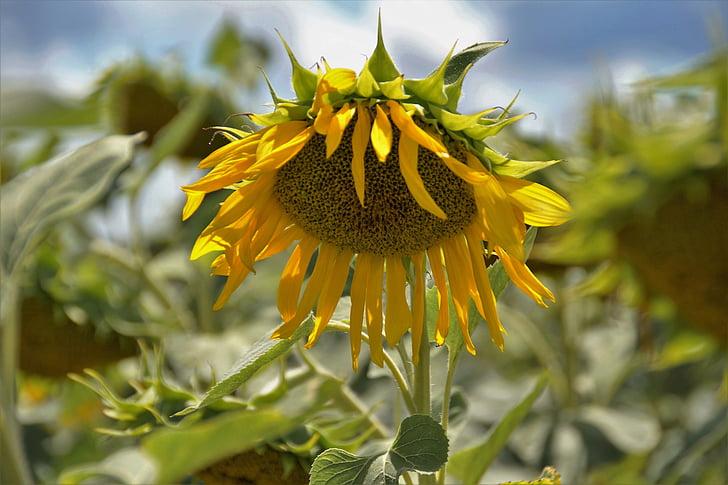 подсолнечник, цветок, желтый, цветок подсолнечника, Лето, Семена, Экономическая завод