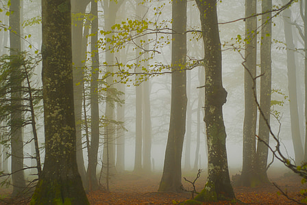 forest, fog, trees, nature, autumn, cold, black forest