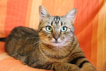 cat, tabby cat, green cat eyes, cat lying, domestic Cat, pets, animal