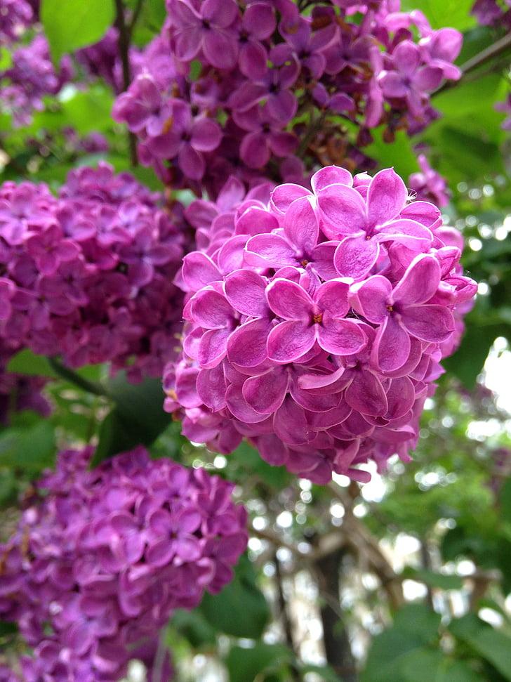 liliowy, ogród, fioletowy kwiat