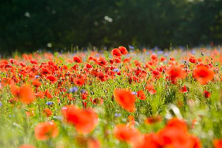 field of poppies, poppy, poppies, klatschmohn, flowers, field, landscape