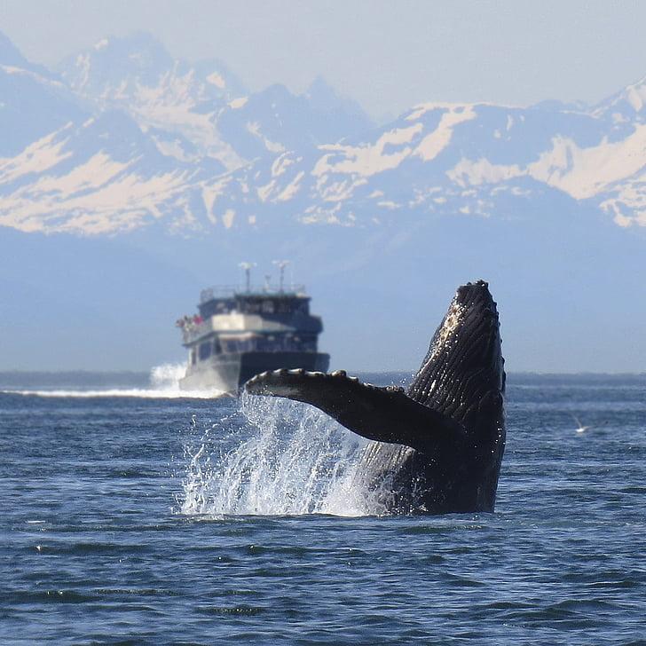 geperuda, balena, breeching, Alaska, natura, vida silvestre, violar