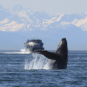 humpback, whale, breeching, alaska, nature, wildlife, breaching