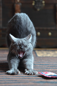 cat, breed cat, yawn, sweet