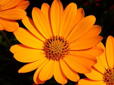 gėlė, Medetkų, žiedų, žydėti, uždaryti, geltona, oranžinė