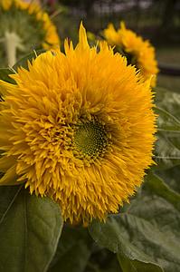päevalill, kollane, lill, suvel taimed, Aed, Flora, Bloom