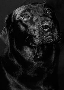 laurentiu, negru, câine, animale, animal de casă, Retriever, canin