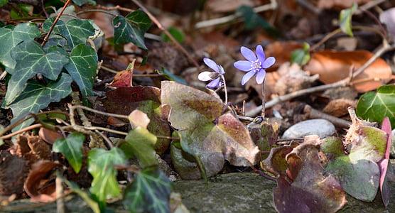 gozdnih tleh, tla, gozd, narave, listi, bršljan, cvet